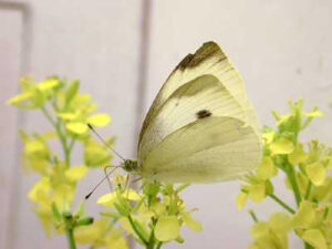 butterfly_brassica